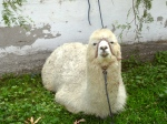 Llama - enough said